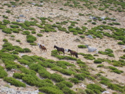 cavalli-selvatici